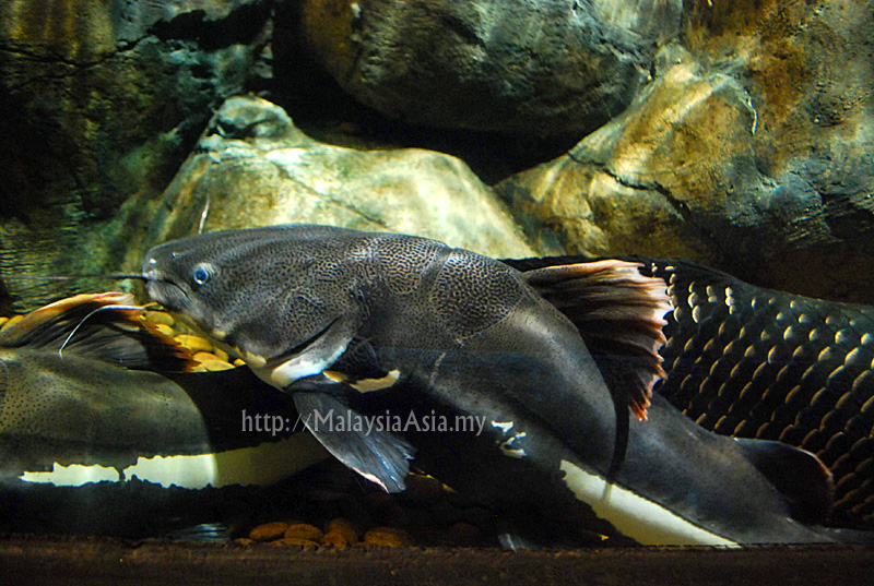 Redtail Catfish : Red Tail Catfish from the Amazon