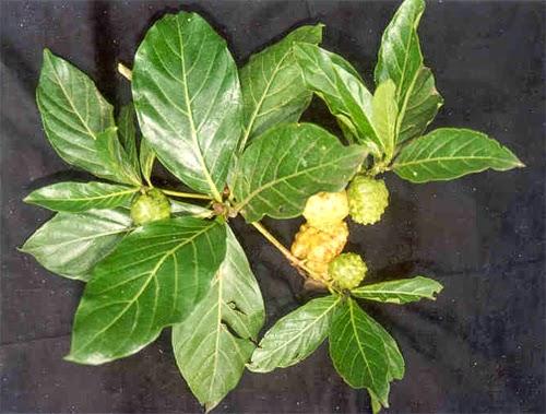 khasiat daun mengkudu