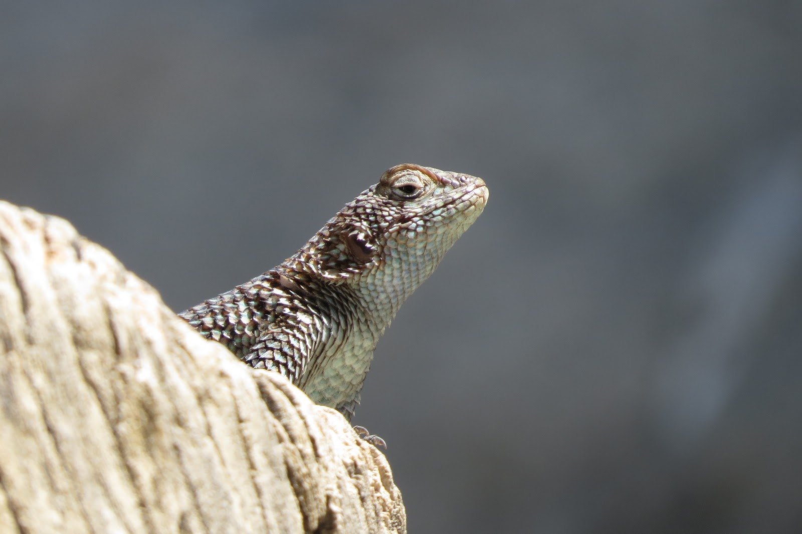 Indian Canyon spiny lizard