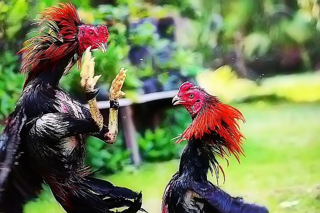 Bandar Agen S128 Judi Sabung Ayam Online & Adu Ayam Sm558