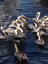 Pretty Pelicans!
