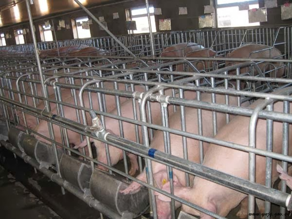 Modern Systems For Pig Farrowing Management Pig Farming
