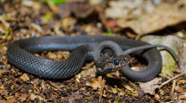 Melanistic Eastern Garter Snake Ohio