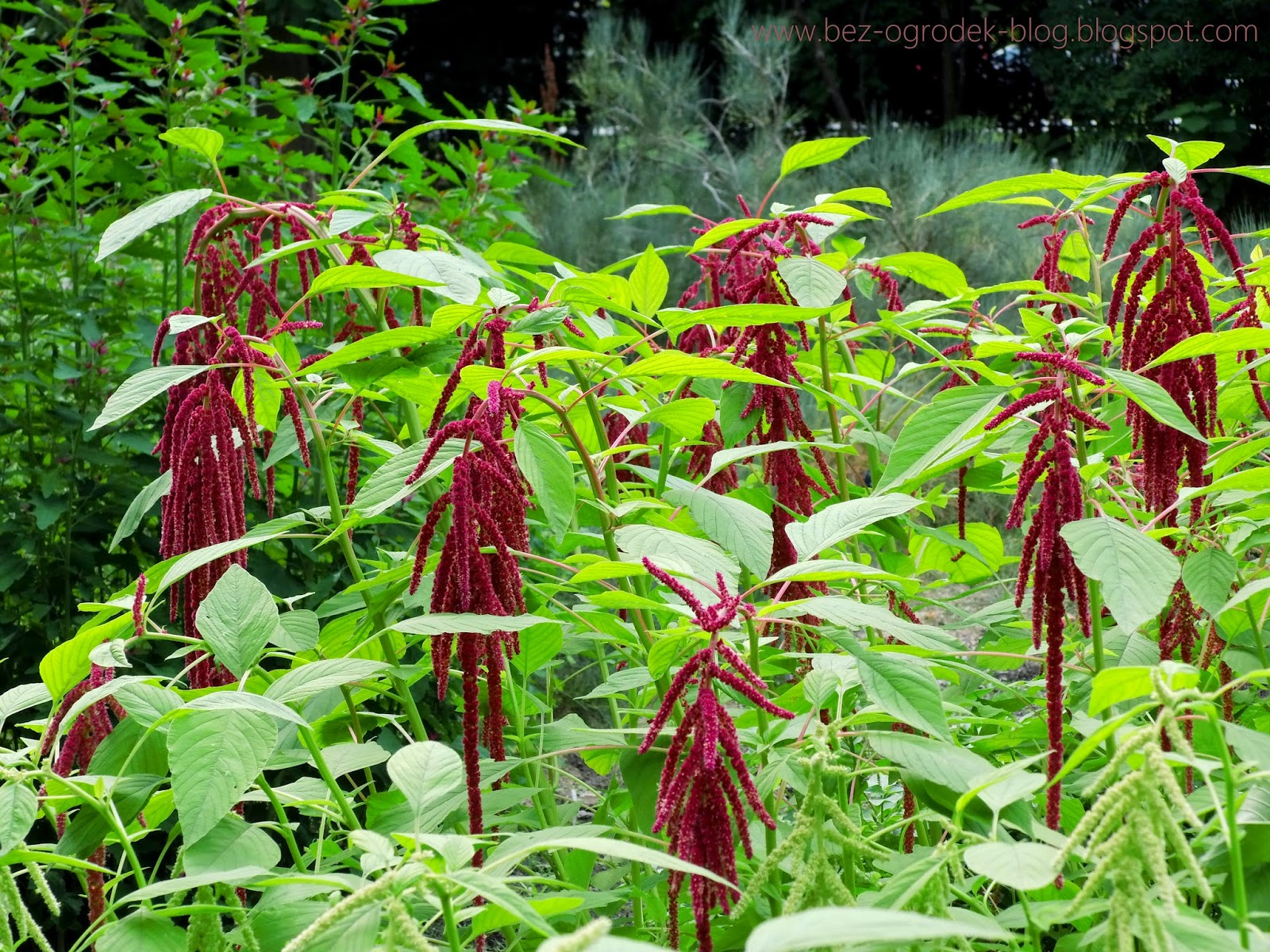 amaranthus flowers in the color of the year