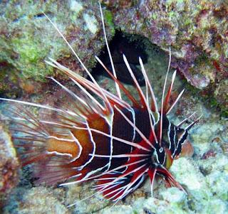 Ikan Hias Lion Fish