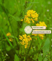 Mostaza - Mustard - Sinapis arvensis
