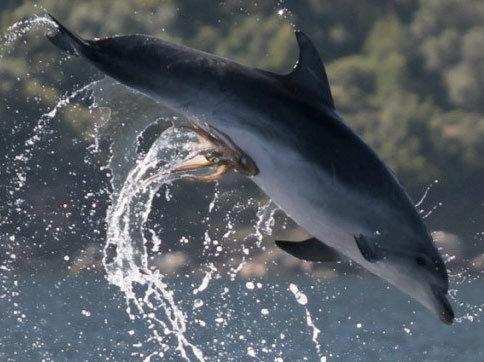 polvo agarrado no golfinho