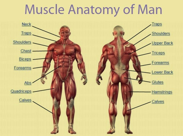 Muscle Anatomy of Man