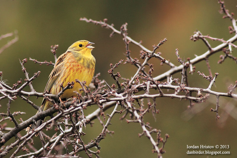 Yellowhammer photography by Iordan Hristov