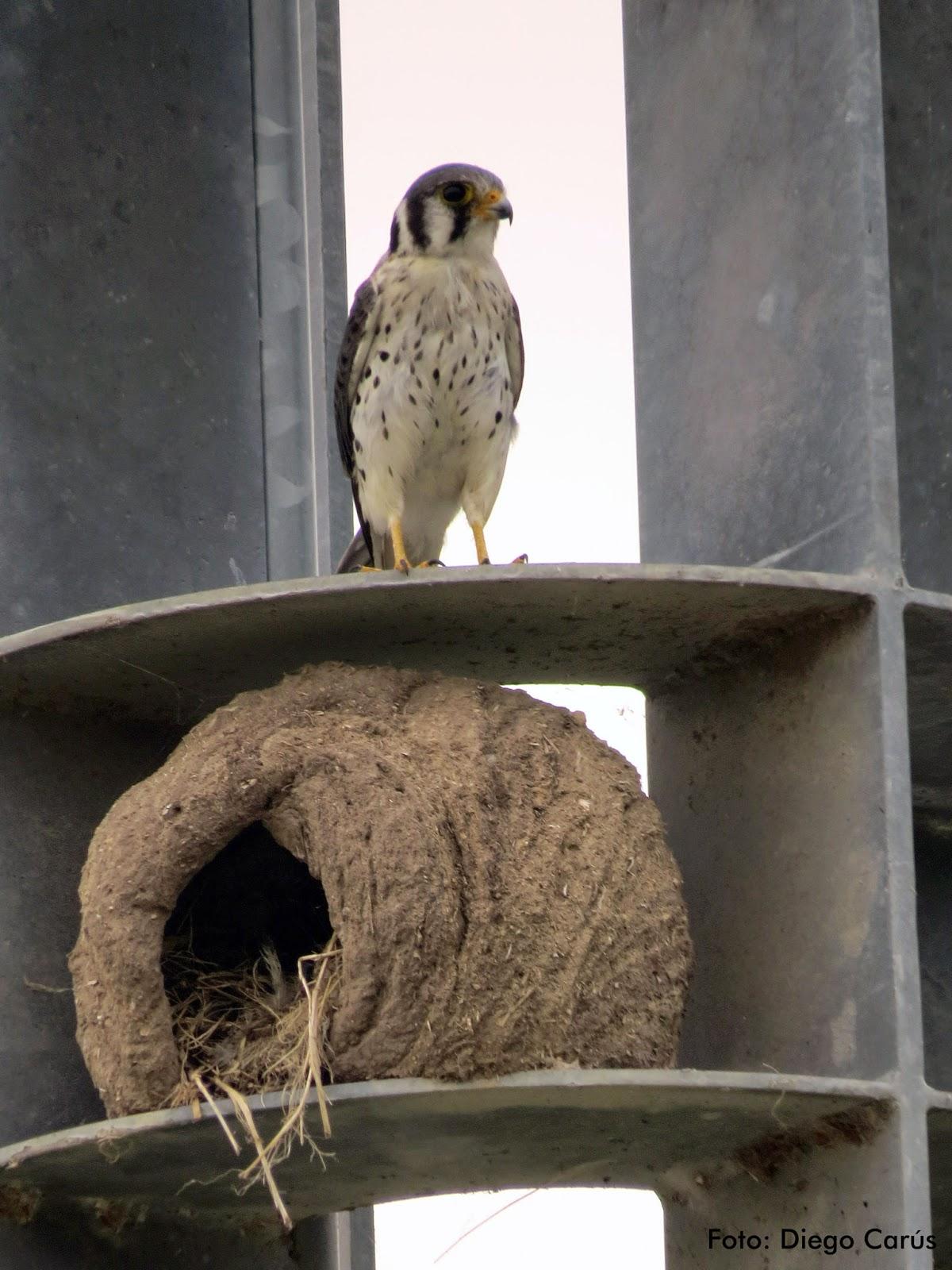 Halconcito Colorado ¿habitando? ¿acechando? un nido de Hornero