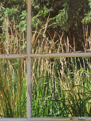 Calamagrostis acutifolia 'Karl Forester'
