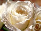A pureza da rosa...