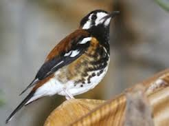 Foto Burung Kembang Waru Jantan