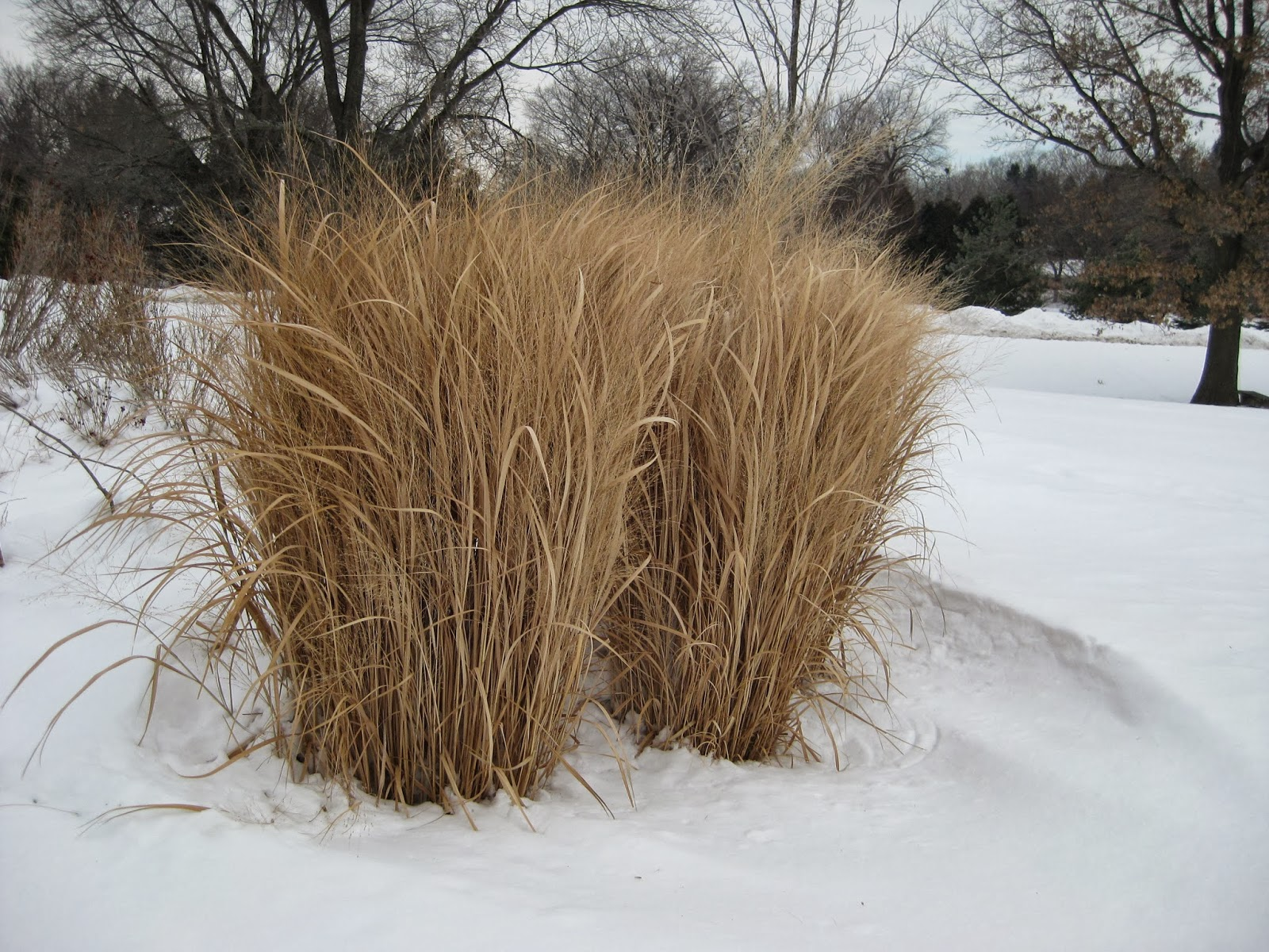 Rotary botanical gardens hort blog 39 northwind for Ornamental grasses that stay green all year
