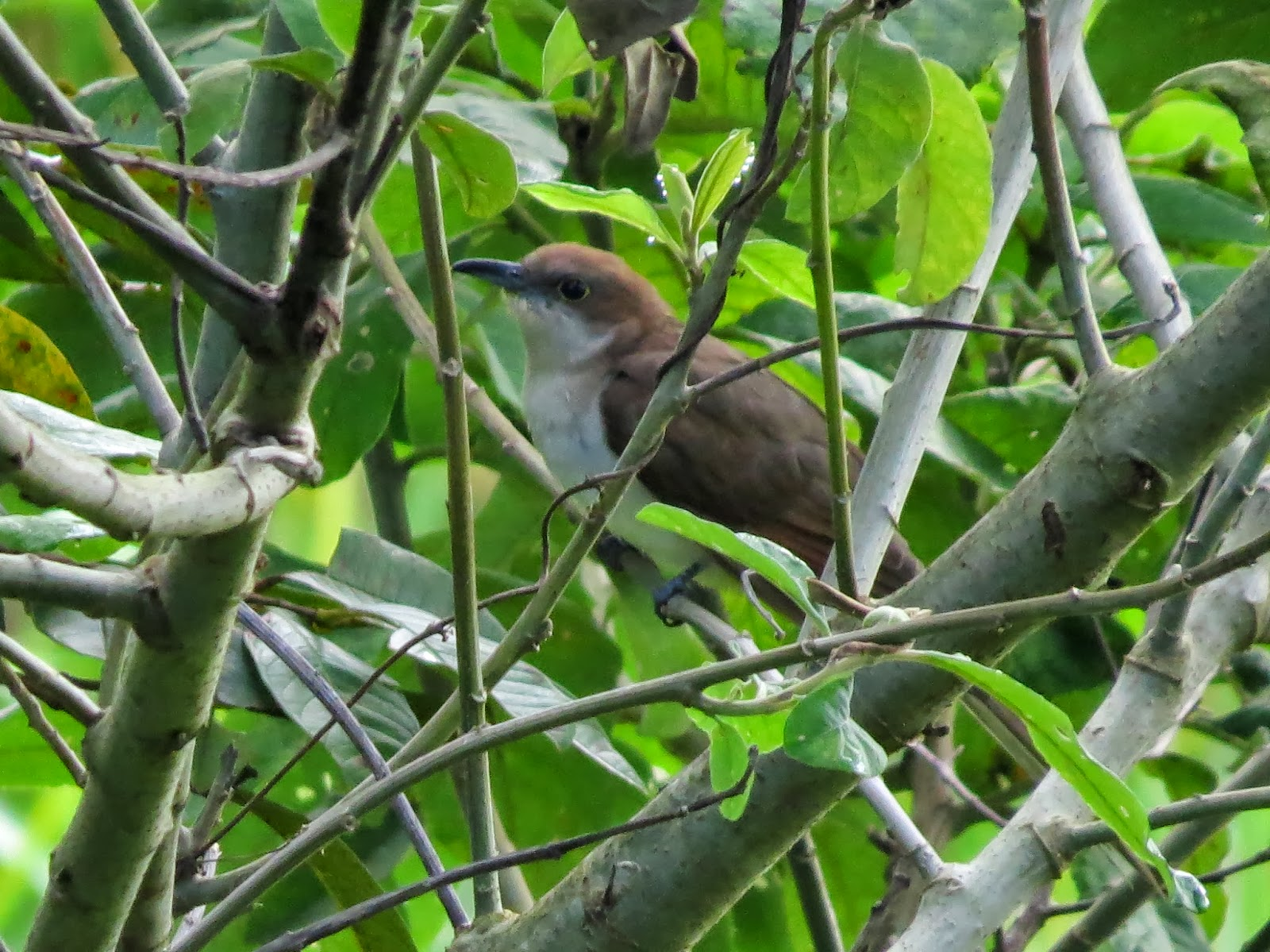 Cool Yard Bird Black Billed Cuckoo