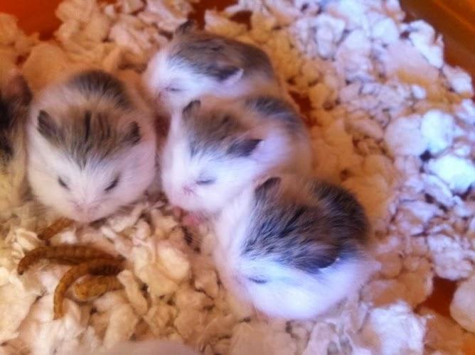 Robo hamster roborovski hamster breeding roborovski hamster jpg