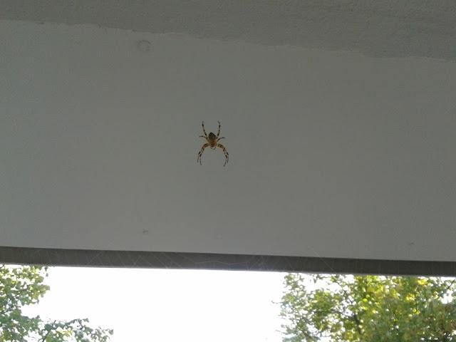 örümcek, spinne,spider
