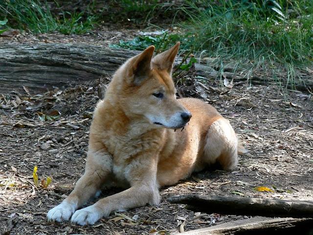 El Cerco del Dingo: una cerca para perros de 5.600 kilometros en Australia