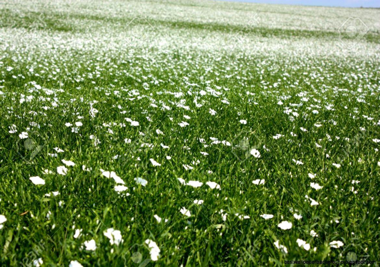 White Flower Field Best Wallpaper Background