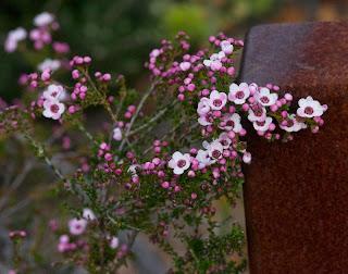 Geraldton Wax (Chamaelaucium uncinatum) or  Large-flowered Baeckea (Baeckea grandiflora)