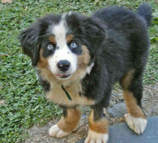 Cute Bernese Mountain Puppy Pictures