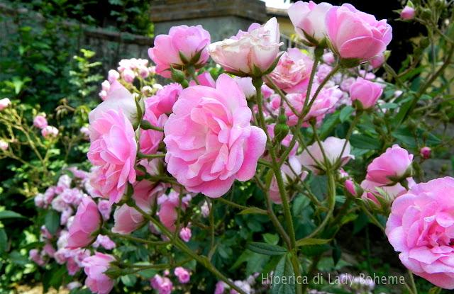 hiperica_lady_boheme_blog_di_cucina_ricette_gustose_facili_veloci_rose