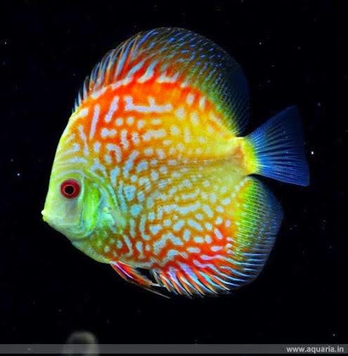 Discus fish water temp what is the suitable water for Temperature for fish