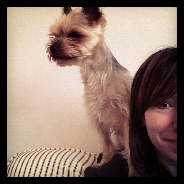 cute yorkie peeking over shoulder