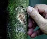 Pokok Karas yang sakit menghasilkan kayu gaharu