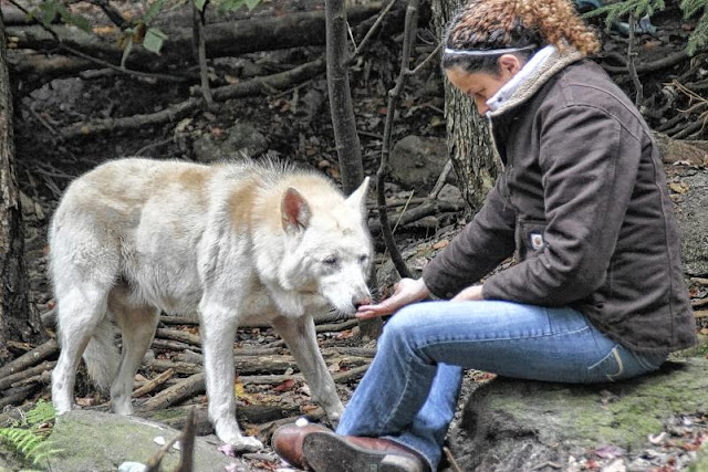 29 Wolf-hybrids rescued from remote mountain top hoarding situation that was started as a hybrid rescue. (Photos)