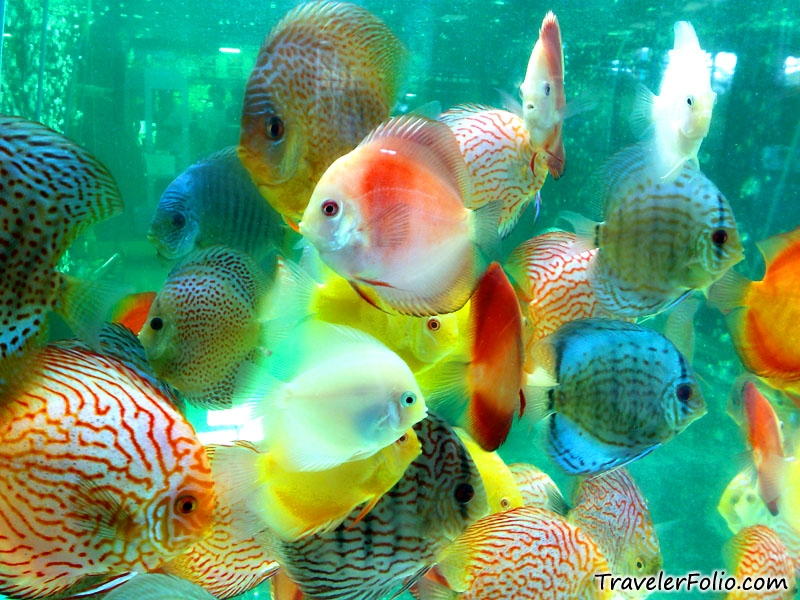 Full wallpaper beautiful fishes pictures for Beautiful fish pictures