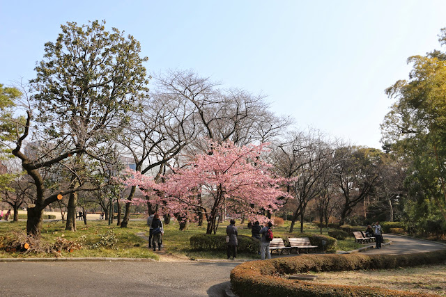 Visitors are busy taking pictures of cherry blossom at Imperial Palace East Garden in Tokyo, Japan