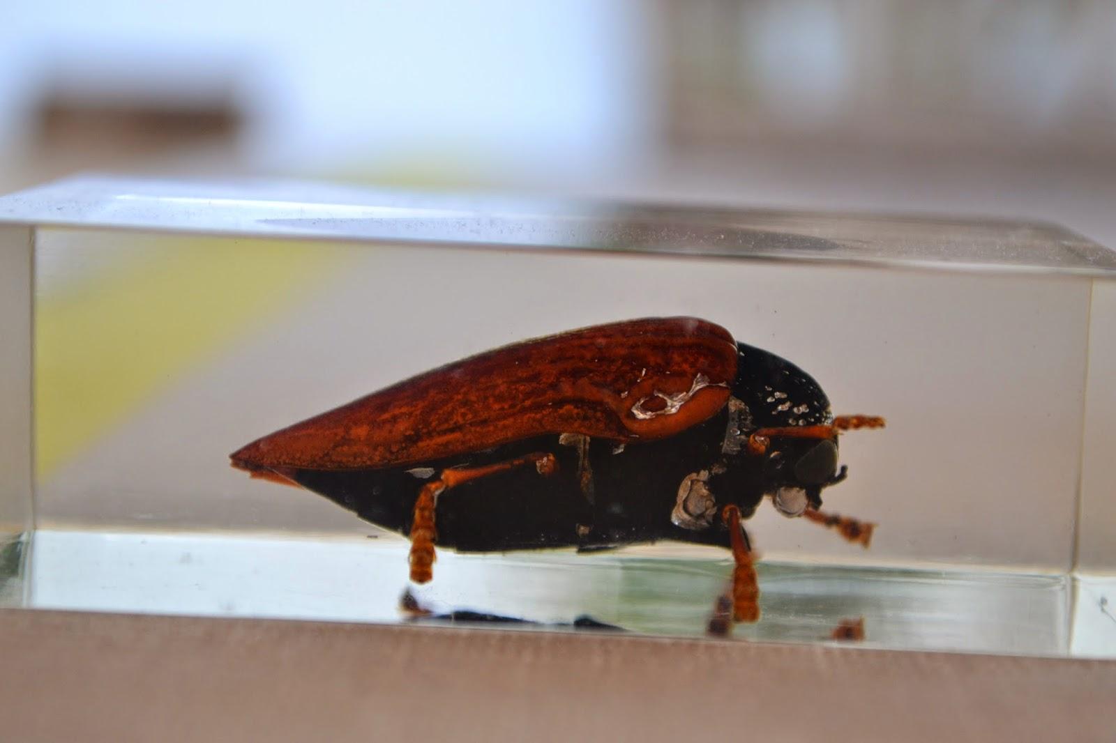 Jewel beetle in acrylic