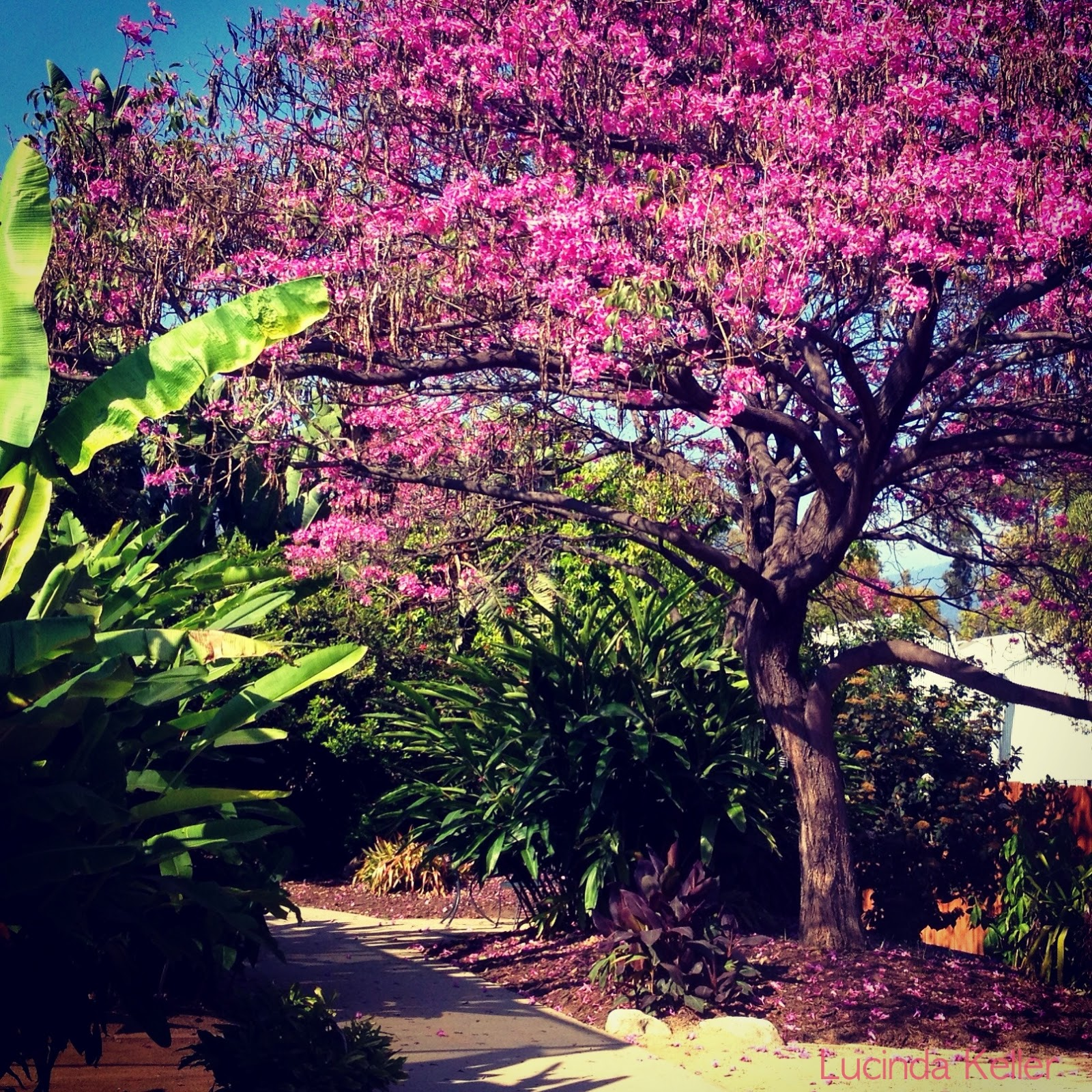 Cobalt Violet Spring At The Los Angeles Arboretum And