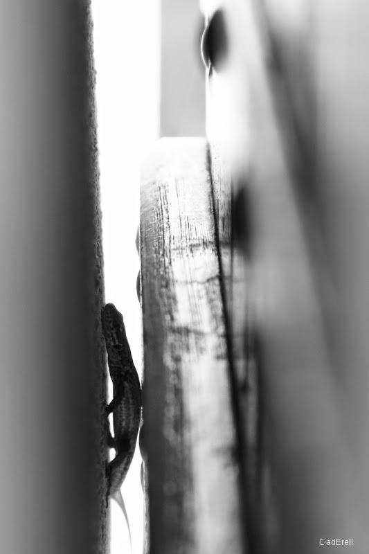 Lézard en chasse derrière une porte