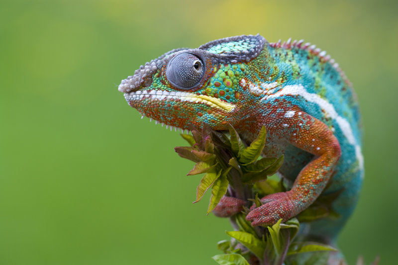 Chameleon | Info-Facts and New Photos | The Wildlife