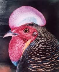 cara merawat ayam bekisar berkualitas