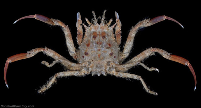 Porter crab