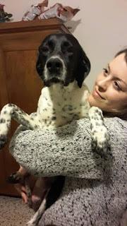 Firenze cane pointer adozione
