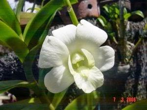 Cara Merawat Bunga Anggrek
