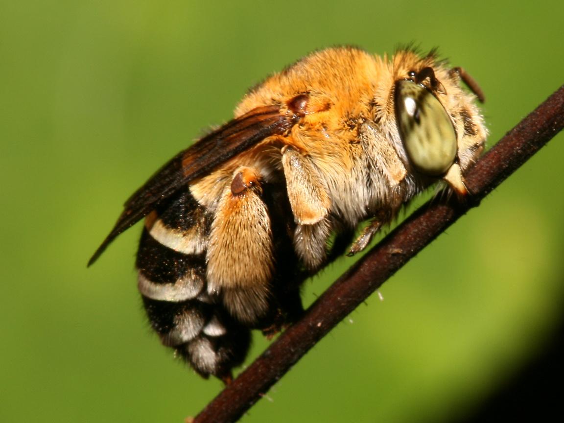 http://3.bp.blogspot.com/-F4KUWA-wyog/TmpHpMvOkyI/AAAAAAAAAO4/_WerYaqRZAU/s1600/bee-wallpaper-34-704362.jpg