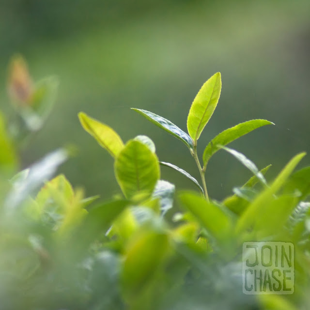 A close up of green tea leaves at Daehan Green Tea Plantation in Boseong, South Korea.