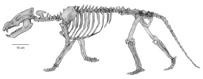 Dukecynus skeleton