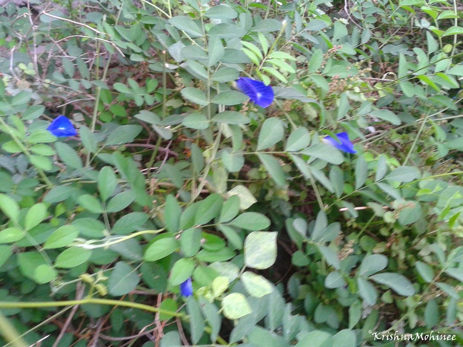 Image: Gokarna plant and flowers
