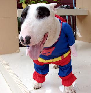 Bull Terrier Panda Super Hero Gallory 2 : น้องหมาในชุด ชุปเปอร์ฮีโร่