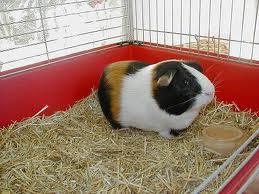 Guinea Pigs image