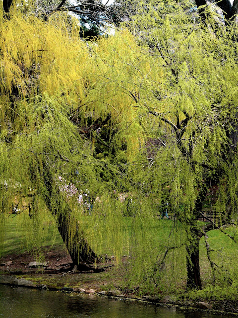 Willow Tree by the Lake, Central Park, New York City