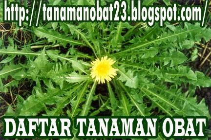 Tanaman Obat Jombang (Taraxacum officinale Weber et Wiggers)