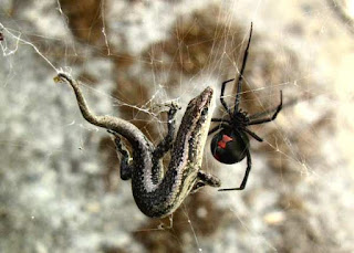 Black widow spider catching a lizard on its web