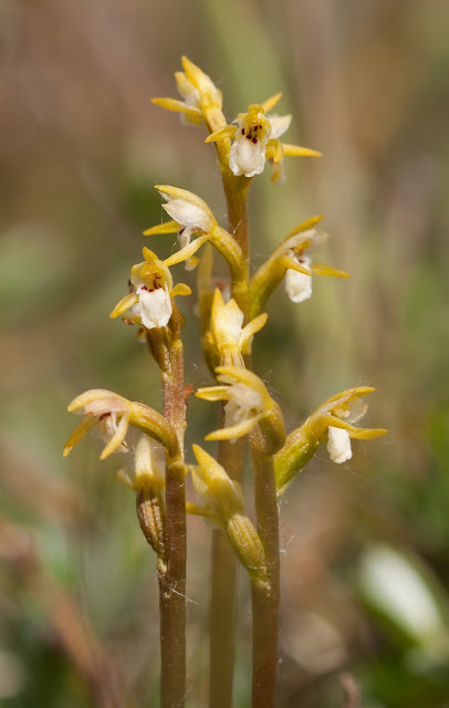 Coralroot Orchid - Sandscale Haws, Cumbria